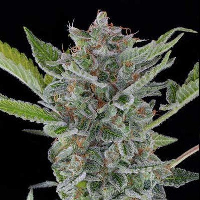 buy white widow xtrm seeds online ganja seeds